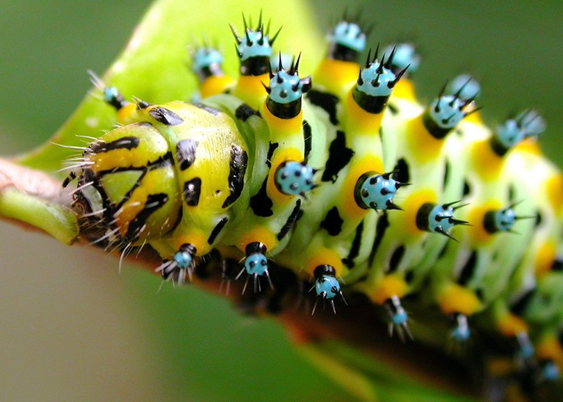 Calleta silkmoth caterpillar - butterfly house on flickr