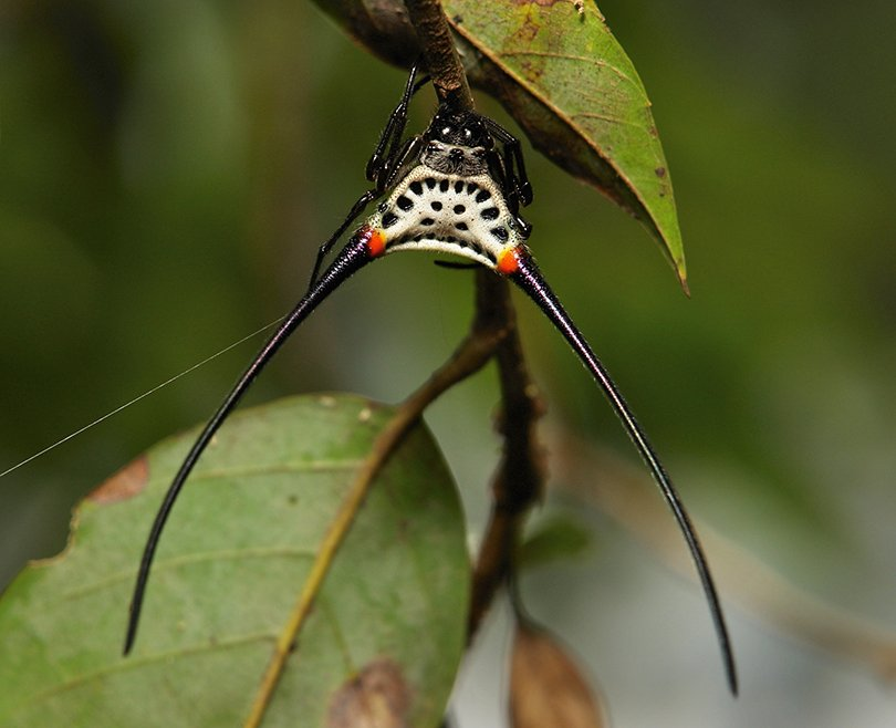 Long-horned Orb-weaver Spider (Macracantha arcuata, Araneidae) - itchydogimages, Flickr