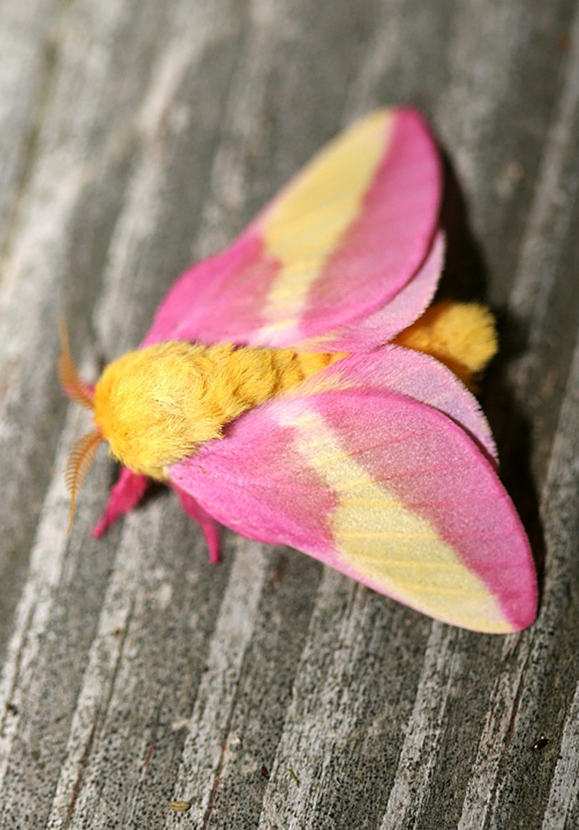 Rosy Maple Moth - photo by Bill Hubick