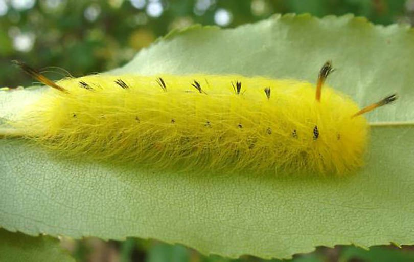 Spotted Apatelodes Caterpillar