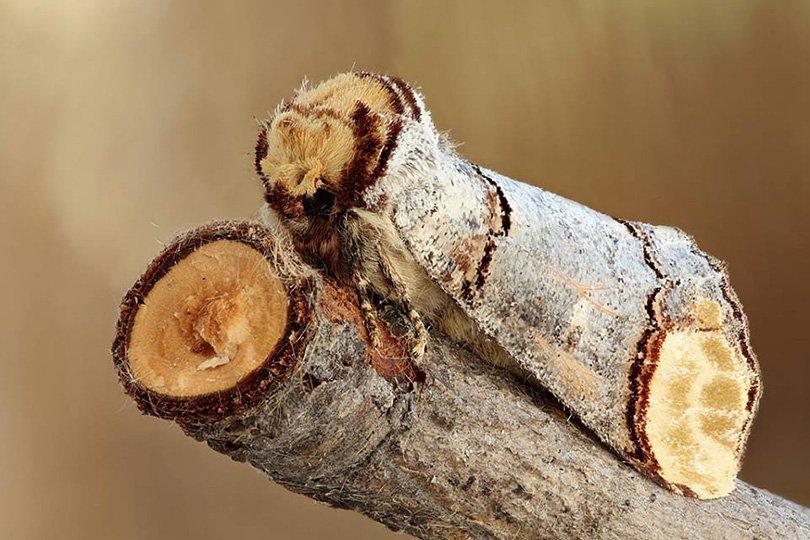 buff-tip moth by Sergei Talanov