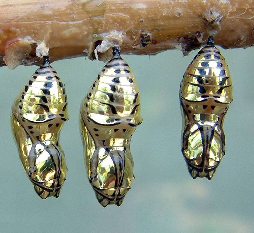 cocoon of the Metallic Mechanitis Butterfly Chrysalis