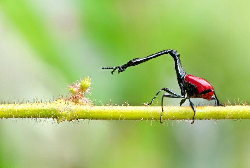 giraffe-necked weevil - dale morris