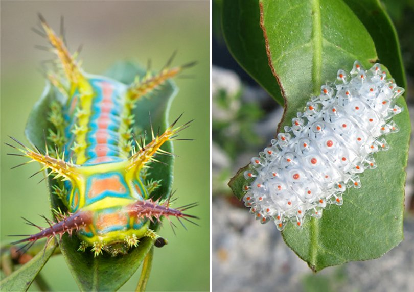 jewel caterpillar - Gerardo Aizpuru1