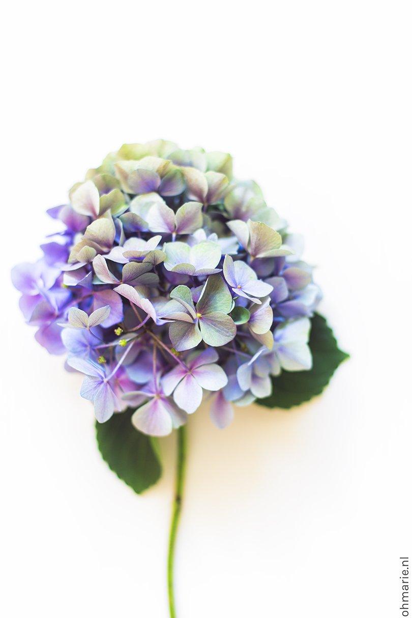 Hortensia - mooiwatbloemendoen.nl - Oh Marie!